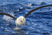 Campbell's Albatross (Thalassarche melanophris impavida) in flight — Foto de Stock