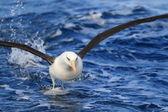 Campbell's Albatross (Thalassarche melanophris impavida) in flight — Stock Photo