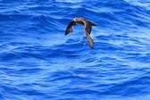 Grey-faced Petrel (Pterodroma macroptera) at Australia — Foto Stock
