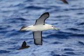 Shy Albatross (Thalassarche cauta) — Stock Photo