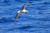 Shy Albatross (Thalassarche cauta) — Stock Photo