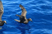 Grey-faced Petrel (Pterodroma macroptera) at Australia — Стоковое фото