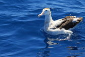 Wandering Albatross (Diomedea exulans gibsoni) at Australia — Stock Photo