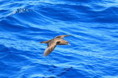 Wedge-tailed Shearwater (Procellaria pacifica) in Australia — Stock Photo