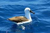 Indian Yellow-nosed Albatross (Thalassarche chlororhynchos carteri) at Australia — Stock Photo
