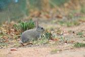 European Rabbit (Oryctolagus cuniculus) — Stock Photo