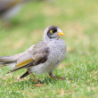Noisy Miner (Manorina Melanocephala) in Royal N.P, NSW, Australia — Stock Photo