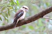 Laughing Kookaburra (Dacelo novaeguineae) in Australia — Stockfoto
