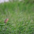 Stock Photo: Yellow Bittern (Ixobrychus sinensis) in Japan