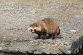 Raccoon Dog Nyctereutes procyonoides in Japan — Stock Photo