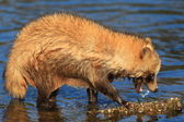 Raccoon Dog (Nyctereutes procyonoides) in Japan — Stock Photo