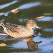 Common Teal or Eurasian Teal (Anas crecca) - Stock Photo