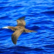 Brown Booby (Sula leucogaster) in Japan — Foto Stock