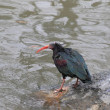 Northern Bald Ibis (Geronticus eremita) — Stock Photo