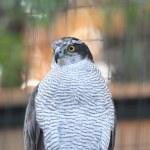Northern Goshawk (Accipiter gentilis) — Stock Photo