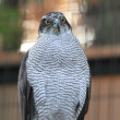 Stock Photo: Northern Goshawk (Accipiter gentilis)
