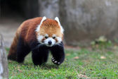 Red panda bear — Stock Photo