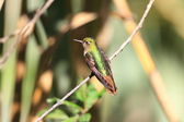 Tyrian Metaltail (Metallura tyrianthina) in Yanacocha resorve,Ecuador — Stock Photo