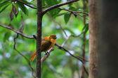 Golden Bowerbird (Prionodura newtoniana) in North Australia — Stock Photo