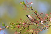Eurasian Tree Sparrow (Passer montanus) in Japan — Stock Photo