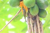 Bonin Honeyeater (Apalopteron familiare) in Ogsawara Island, Japan — Stock Photo