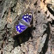 Great purple emperor (Sasakia charonda) in Japan — Stock Photo #30317551