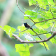 Japanese Paradise Flycatcher. This image was taken in Okinawa Prefecture, Japan — Stock Photo