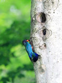 Broad-billed Roller or Dollarbird (Eurystomus orientalis) in Japan — Stock Photo