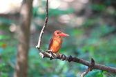 Martín pescador rojo colorido, kingfisher ruddy masculino (halcyon coromanda), en una rama — Foto de Stock
