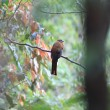 Red-headed Trogon (Harpactes erythrocephalus) — Stock Photo