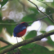 Garnet pitta — Stock Photo