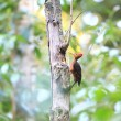 Orange-backed Woodpecker (Reinwardtipicus validus) in Malaysia — Stock Photo