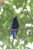 Mavi kuş, asya peri mavi kuş (irena puella), arka profili — Stok fotoğraf