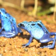 Blue Poison Dart Frog (Dendrobates azureus) in Republiek Suriname — Stock Photo