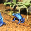 Stock Photo: Blue Poison Dart Frog (Dendrobates azureus) in Republiek Suriname
