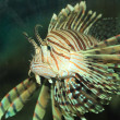 Luna lionfish (Pterois lunulata) in Japan — Foto Stock