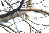 Yellow-bellied Tit (Periparus venustulus) in Japan — Stock Photo