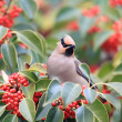 Japanese Waxwing (Bombycilla japonica) in Japan — ストック写真