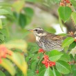 Dusky thrush (Turdus naumanni eunomus) in Japan — Stock Photo