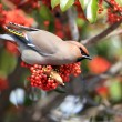Bohemian Waxwing (Bombycilla garrulus ) in Japan — Stock Photo