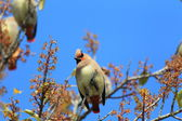Japanese Waxwing (Bombycilla japonica) in Japan — Foto Stock