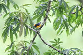 Orange-bellied Euphonia (Euphonia xanthogaster) in Ecuador — Foto Stock