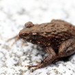Stock Photo: Wrinkled Frog (Ranrugosa) in Japan