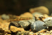 Floating goby (Chaenogobius annularis) in japan — Stock Photo
