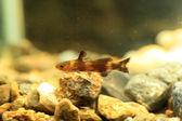 Stumpy bagrid catfish or Stumpy bullhead (Coreobagrus ichikawai) in Japan — Stock Photo