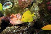 Yellow surgeon fish (Zebrasoma flavescens) in Japan — Stock Photo