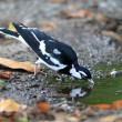 A Magpie Lark, also known as a Mudlark, Murray Magpie or Peewee, a small to medium size Australian bird which is part of the family Monarchidae — Stockfoto