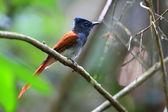 Asian paradise Flycatcher (Terpsiphone paradisi) female in Thailand — Stockfoto