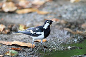 A Magpie Lark, also known as a Mudlark, Murray Magpie or Peewee, a small to medium size Australian bird which is part of the family Monarchidae — Stock Photo