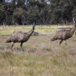 Flightless Australian bird, the Emu — Stock Photo